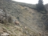 chamois-aux-bachassons-2