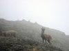 chamois-aux-bachassons-4
