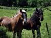 chevaux-en-vercors-3