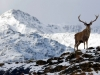 Scottish-Highlands-Photograph-Red-Deer-Stag