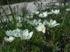 dryade-a-huit-petales