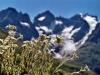 edelweiss-au-col-du-lautaret