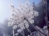ombelifere-sous-la-neige