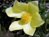 anemone-souffree