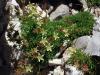 fleurs-grasses-de-rocaille