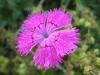 bleuet-rose