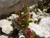 fleurs-de-rocaille-7