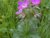 geranium-des-bois-2