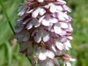 orchis-2