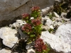 plante-de-rocaille-7