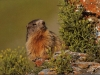 marmottes-02