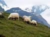beaux-moutons