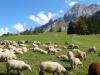 moutons-alpage