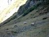 moutons-en-oisans