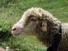 moutons_crolles-1
