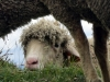 moutons_crolles-2