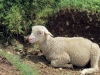 moutons_crolles-3