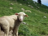 moutons_crolles-4