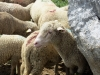 moutons_crolles-5