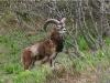 petit-mouflon