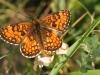 papillon-34