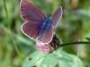 papillon-sur-trefle