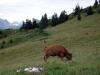 vache-broutante