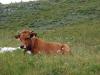 vache-tarine-1