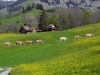 vaches-10