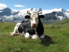 vaches-3