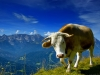 vaches-4