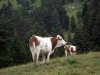 vaches-5