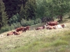vaches-6