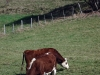 vaches-65
