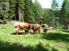 vaches-7
