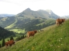 vaches-8
