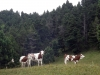 vaches-87