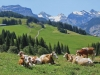 vaches-a-adelboden
