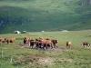 vaches-a-la-madeleine